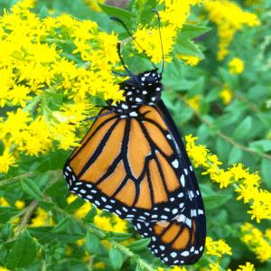 Monarch Butterfly Workshop & Walk @ Newton Conservators Booth - Elm Street Farmer's Market | Newton | Massachusetts | United States